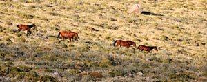 Kuraklik Yilki Atlarini Da Susuz Birakti