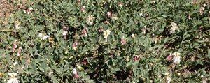 Karaman'da Kapari Ekimi Yayginlasiyor