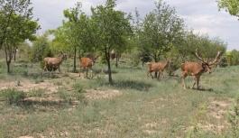 Konya'da Geyiklere Doğal Yaşam Alanı