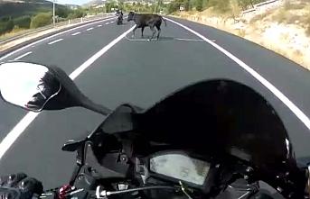 Motosikletli Genç, Önüne Atlayan İneğe Çarpmaktan...