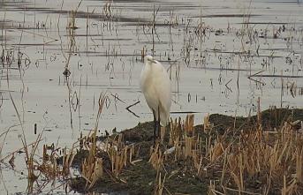Göl ve Sulak Alanlarda 131 bin 686 Su Kuşu Sayıldı...