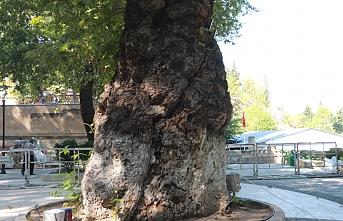 Bin Yıllık Tescilli Çınar Ağacı Tehlike Altında