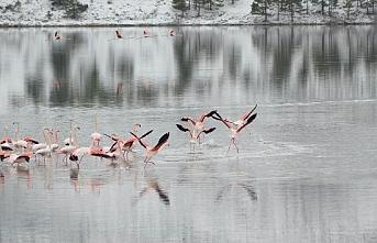 İvriz Barajında 13 Flamingo Soğuktan Öldü