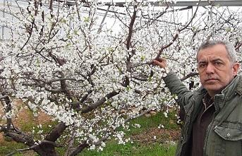 Silifke'de Kar Yağdı Erik Ağaçları Çiçek Açtı