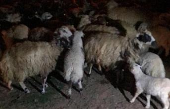 Ereğli`de Kayıp Koyunları Jandarma Bulup Sahibine...
