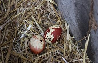 Kaynatılmış Maydonoz Suyu İçen Tavuk Yumurtaları...
