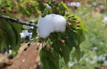 Kiraz Bahçelerini Kar Vurdu
