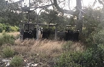 Mut'ta Çalınan Keçiler Karaman'da Bulundu