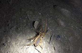 Et Yiyen Örümcek Karaman'da Görüldü