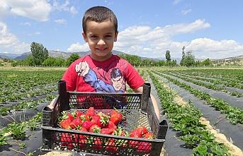 Karaman'da Çilek Üretimi Umut Oldu