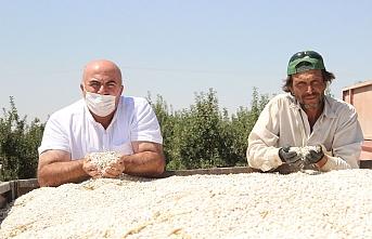 Karaman'da Kuru Fasulye Hasadı Başladı