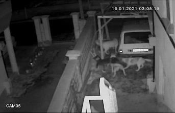 Karaman'da Sokak Köpekleri Kediye Saldırdı, O Anlar Kamerada
