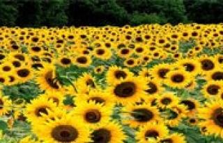 Tohumluk Ayçiçegi Özel Üretim Alanlari Belirlendi