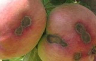 Karaman`da Elma Üreticilerine Kara Leke Uyarisi