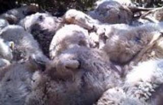 Kayaliklardan Uçuruma Düsen 200 Koyun Telef Oldu...
