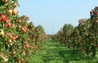 Elma Üretiminde Birinci Isparta, Karaman Ikinci,...
