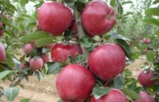Karaman Elma Üretiminde İkinci Oldu