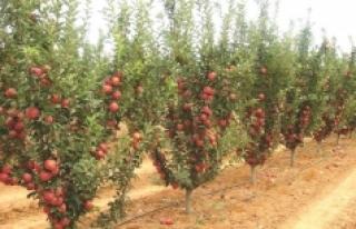 Elmayı Don Vurdu. Tarım Müdürlüğü'nden Ses...