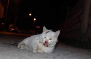 Vicdansız Sürücü Kediye Çarpıp Kaçtı