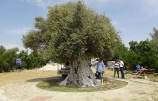 1300 Yıllık Anıt Ağaç Cumhurbaşkanı Erdoğan'ı...