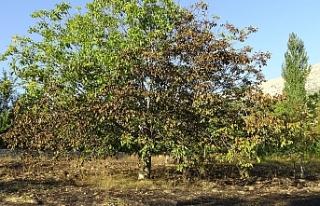 Kuru Otları Yakmak İsterken Ceviz Ve Elma Ağaçlarını...