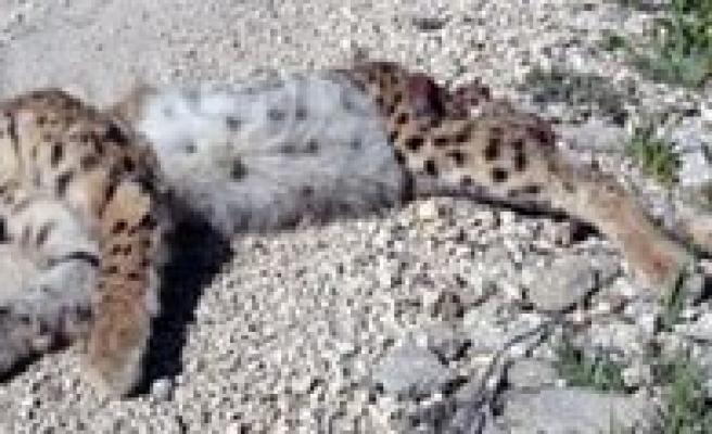 Nesli Tükenmekle Karsi Karsiya Olan `Karakulak` Ölü Bulundu
