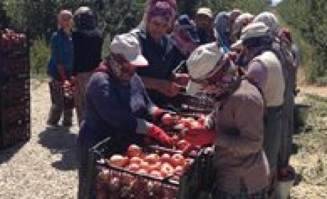 Karaman'da Elma Hasadi Devam Ediyor