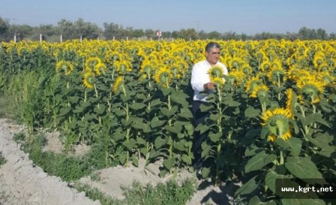 Konya Şeker Ayçiçeğinde Devreye Girdi, İthal Ayçiçeğinin %10 Üstünde Fiyat Verdi