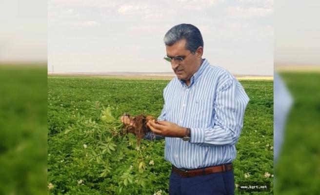 Konya Şeker, Patates Üretiminin De Güvencesi