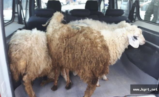 Çaldığı Koyunları Satmak İsterken Yakalandı