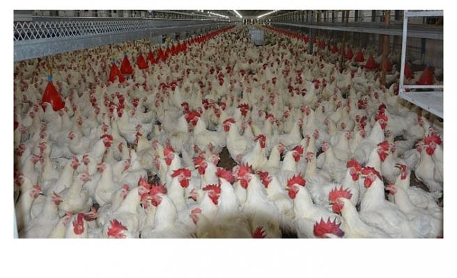 Kümes Hayvancılığı Üretimi Verileri Açıklandı