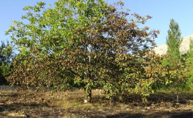 Kuru Otları Yakmak İsterken Ceviz Ve Elma Ağaçlarını Yaktı